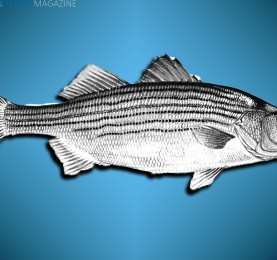 Striped_bass_morone_saxatilis_fish